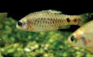 L'ichtyophtirius