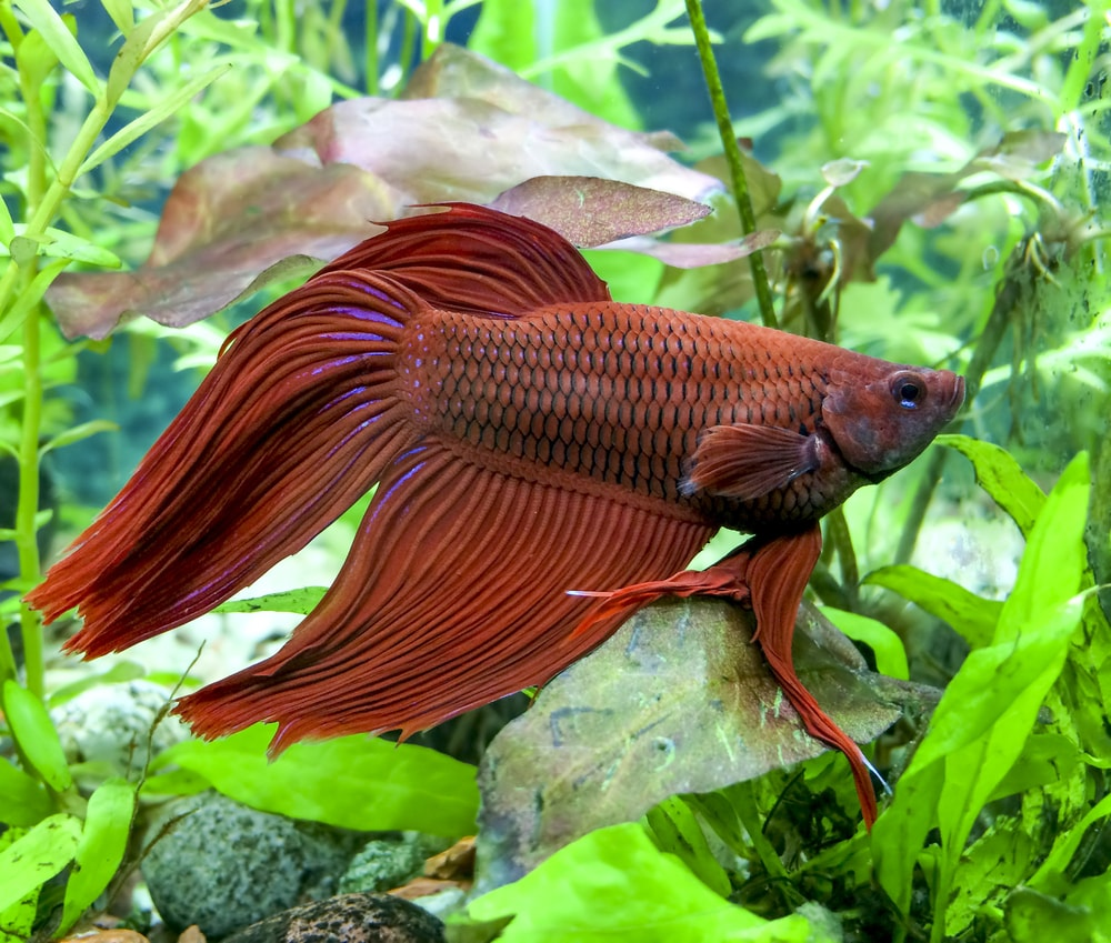 La reproduction de poisson combattant betta splendens for Poisson combattant aquarium