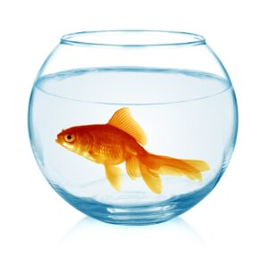 Pourquoi ne pas mettre de poissons rouges dans un bocal for Poisson bocal