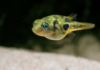 le poisson Carinotetraodon travancoricus ( Tétraodon nain )