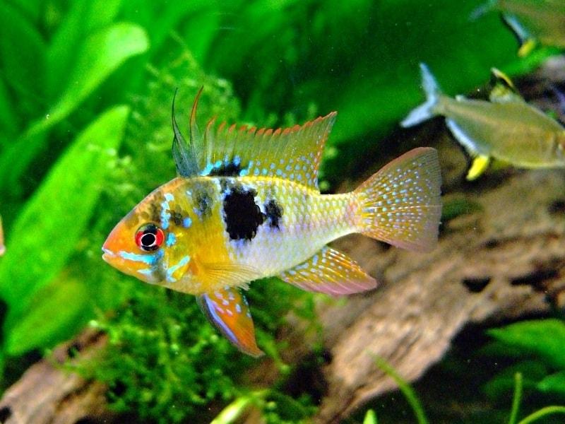 poisson Microgeophagus ramirezi