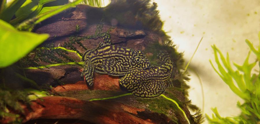 poisson Loche Leopard