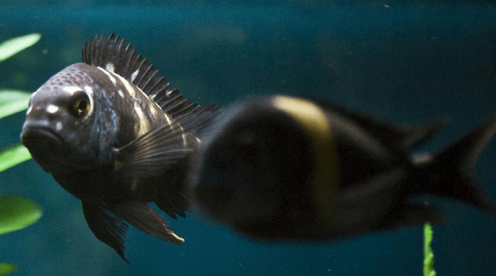 poisson Tropheus duboisi
