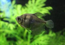 poisson veuve noire