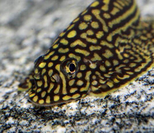Loche léopard
