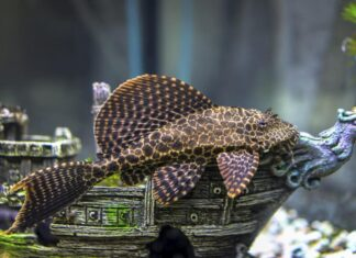 poisson Ancistrus dolichopterus