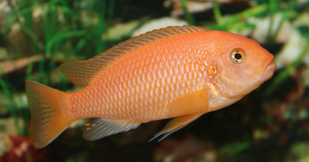 Maylandia estherae orange