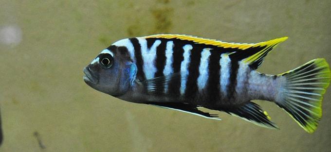 poisson Cynotilapia afra (1)