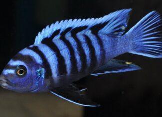 poisson Cynotilapia afra