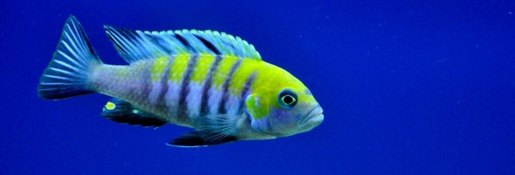 poisson Cynotilapia afra (2)