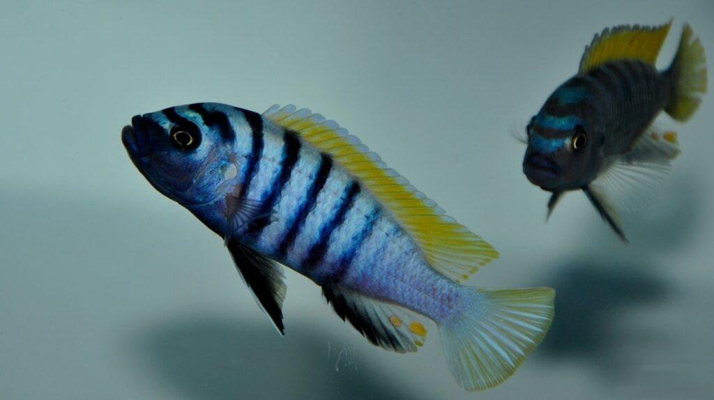 poisson Cynotilapia afra (3)
