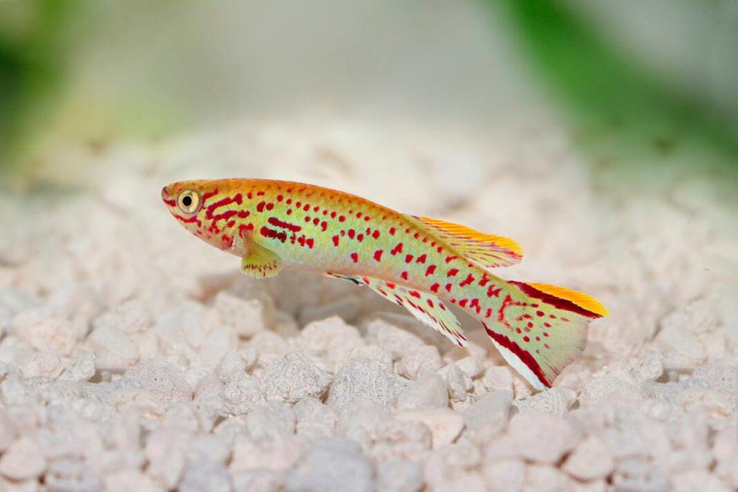 poisson Fundulopanchax gardneri 1