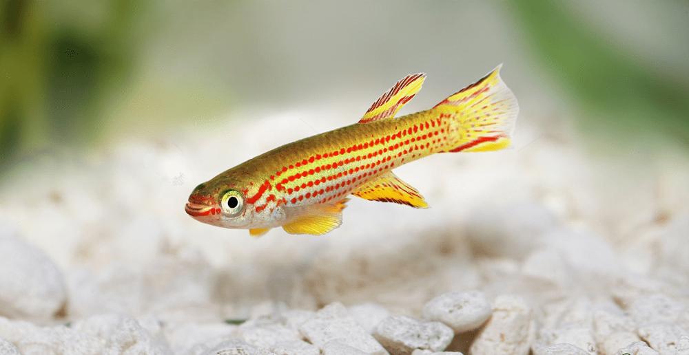 poisson Fundulopanchax gardneri gold