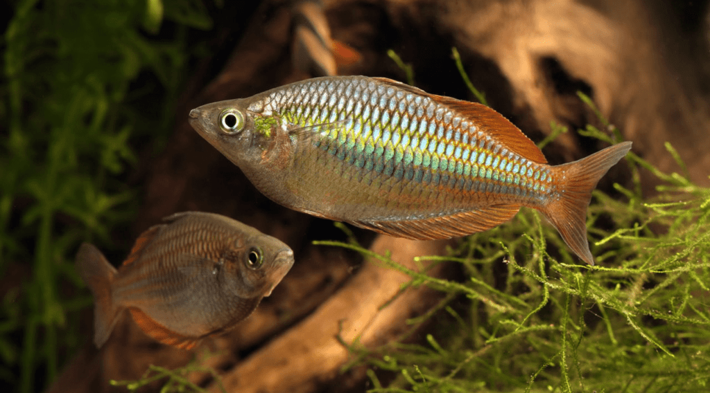 poisson Melanotaenia praecox