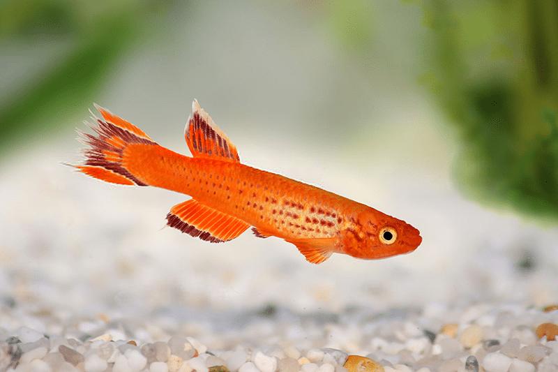 poissons killies
