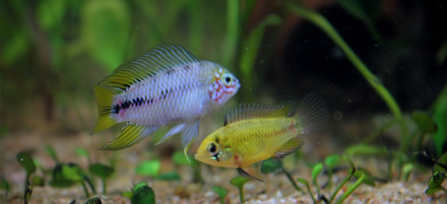 Apistogramma borellii reproduction