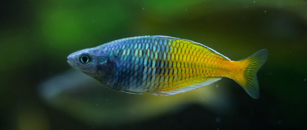 Poisson combattant nourriture for Nourriture du poisson