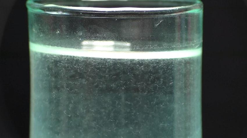 Les anguillule du vinaigre (2)