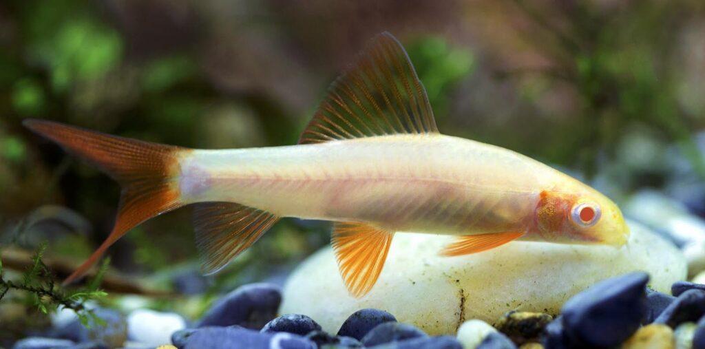 albino Labéo bicolor