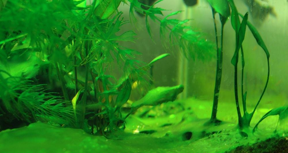 aquarium devient vert