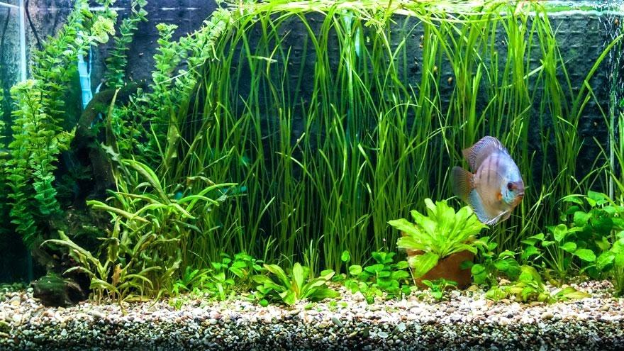 aquarium idéal pour discus