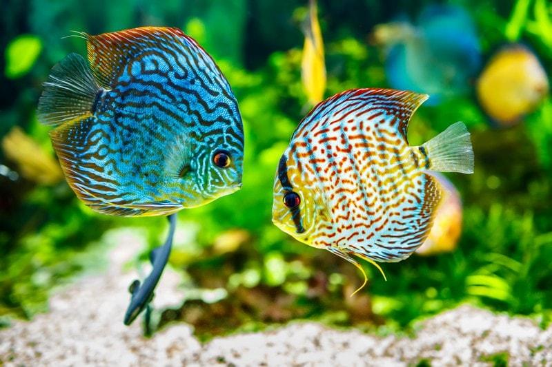 discus poisson aquarium