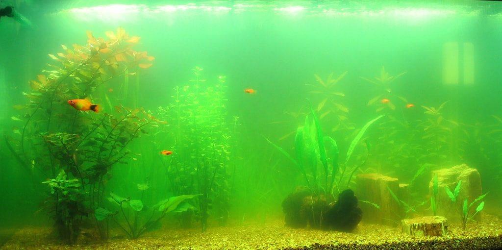 eau verte aquarium