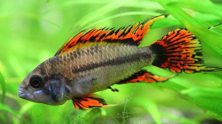 poisson Apistogramma cacatuoides (1)