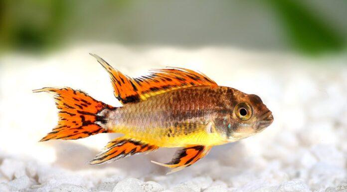 poisson Apistogramma cacatuoides (2)