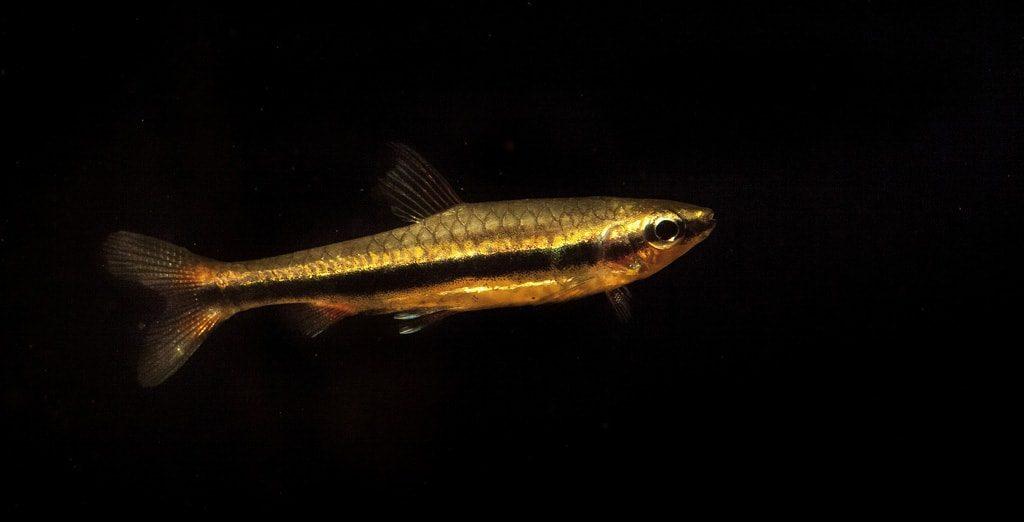 poisson crayon doré (1)