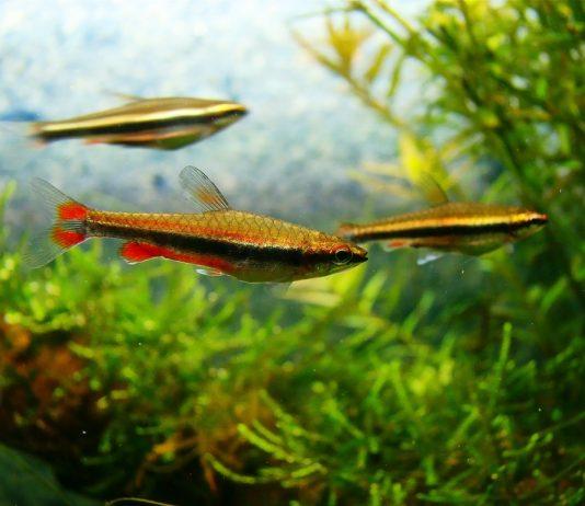 poisson crayon doré (4)