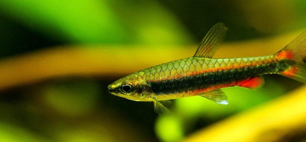 poisson crayon doré (5)
