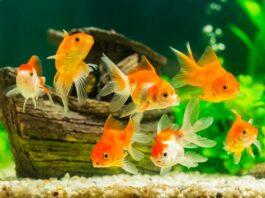 poisson rouge malade