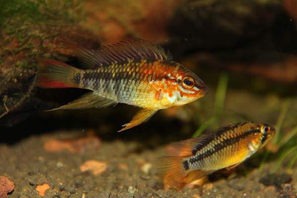 Dimorphisme du poisson Apistogramma viejita (1)
