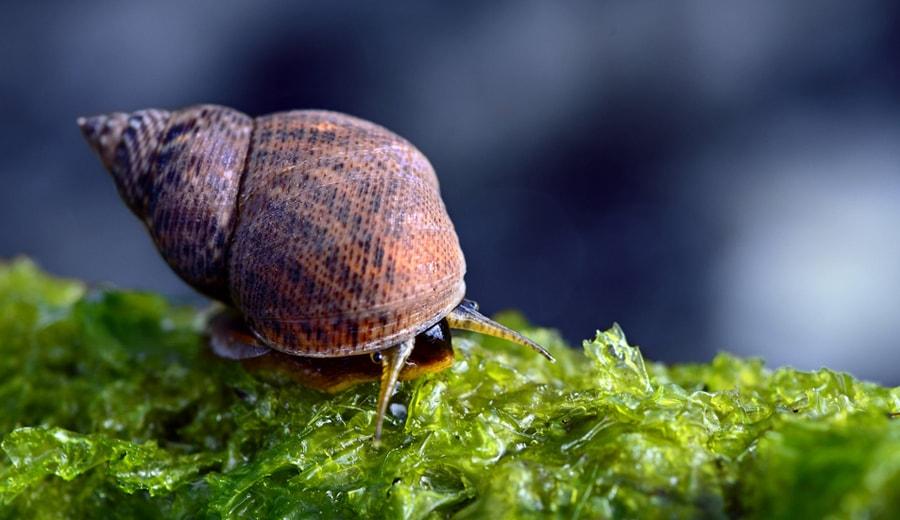 Escargots d'un bac récifal