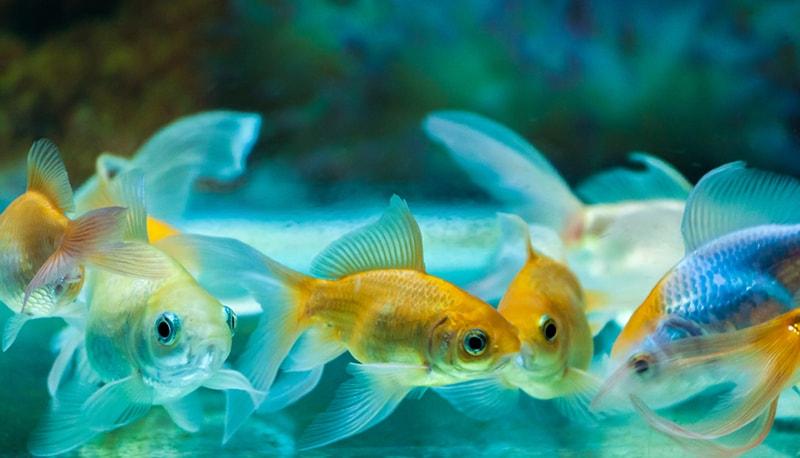 Renforcer le système immunitaire du poisson
