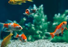 cohabitation de poisson rouge