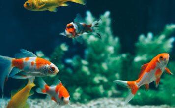 cohabitation de poisson rouge