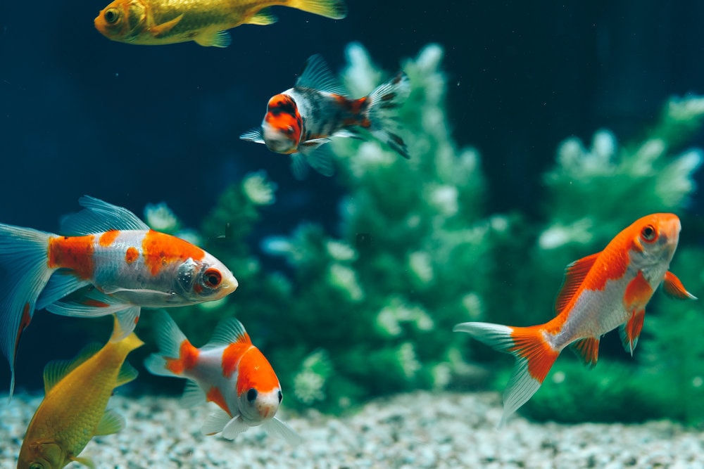 Aquarium communautaire avec poisson rouge possible ou pas for Ou placer aquarium poisson rouge