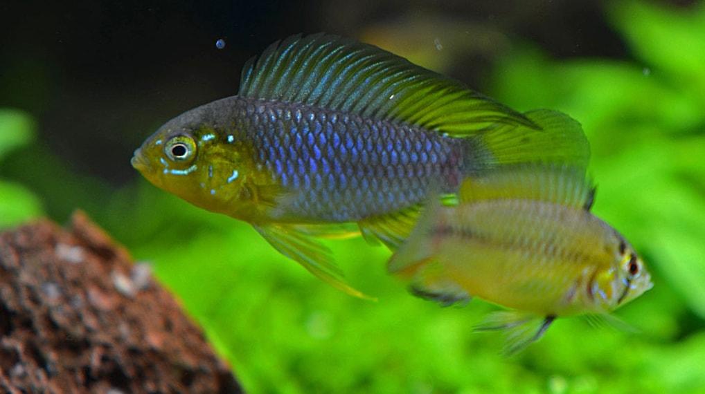 dimorphisme poisson Apistogramma borellii