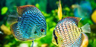 elevage poisson discus