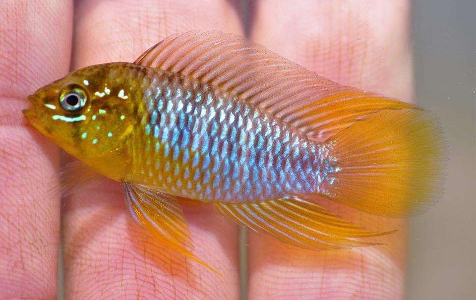 dimorphisme poisson Apistogramma borellii 2
