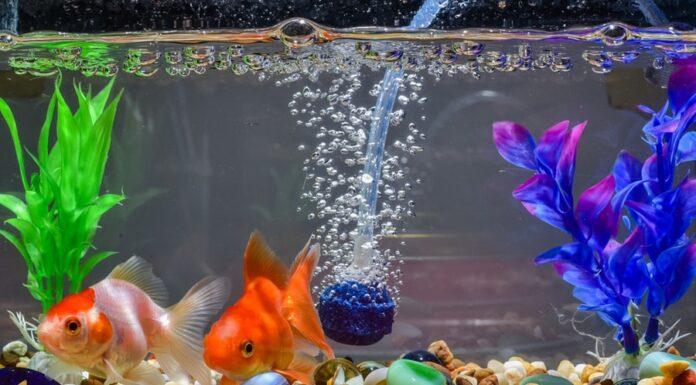 oxygene aquarium poisson rouge