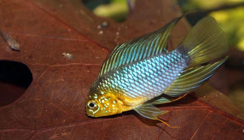 poisson Apisto ombrelle