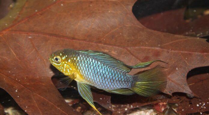 poisson Apistogramma borellii