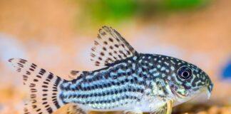 poisson Corydora sterbai