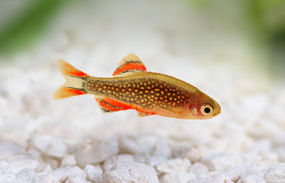 poisson Danio margaritatus rasbora