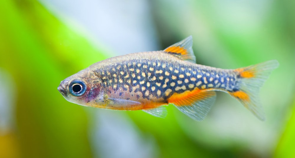 poisson Danio margaritatus