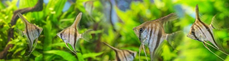 poisson scalaire