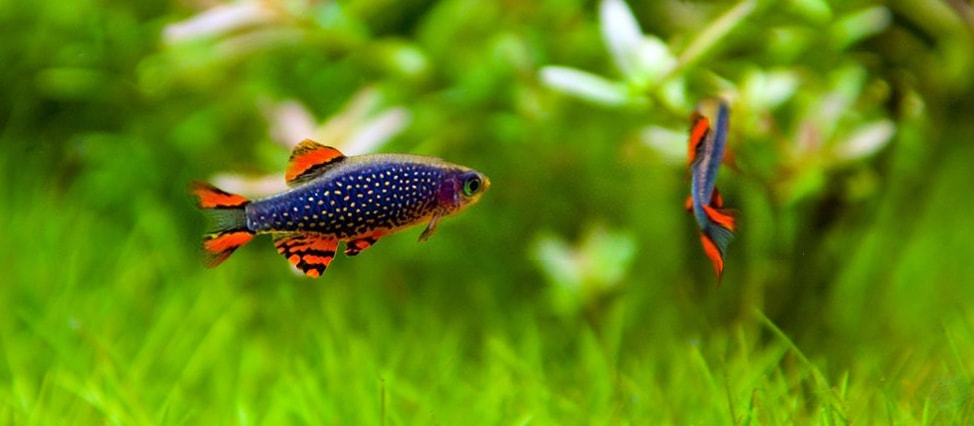reproduction poisson Danio margaritatus
